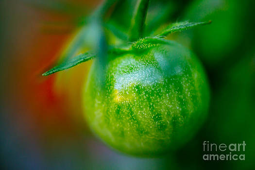 Green Tomato II by Patricia Bainter