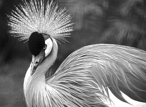 Venetia Featherstone-Witty - Grey Crowned Crane