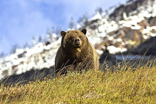 Grizzly Sow by Bill Keeting