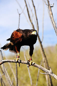 Harris's hawk by Don and Bonnie Fink