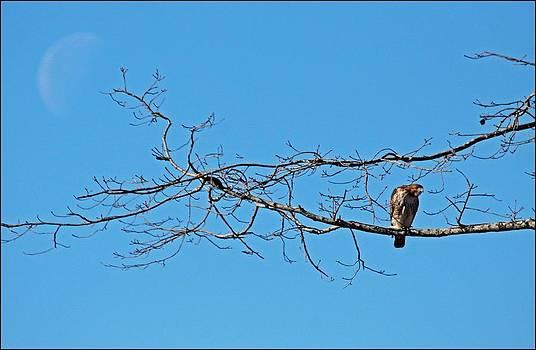 Hawk by Karen Harper