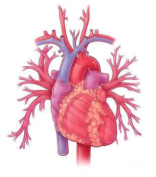 Evan Oto - Heart Illustration, With Pulmonary Veins