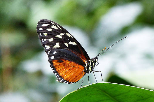 Hecale Longwing by Michele Wright