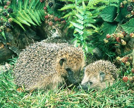 Hans Reinhard - Hedgehog With Young