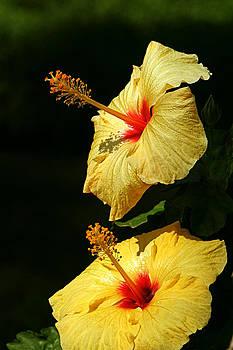 Hibiscus Taormina by Susan Leake