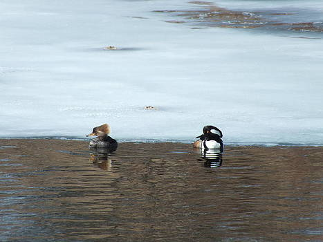 Hooded Mergansers by Gene Cyr