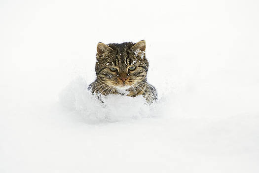 Konrad Wothe - House Cat In Deep Snow Germany