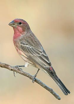 House Finch Oct 2014 by Doug Herr