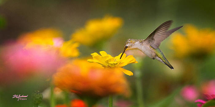 Hummer on Zinnia by Don Anderson