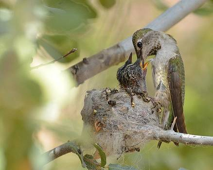 Hummingbird babies by Old Pueblo Photography