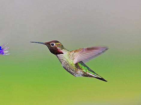 Marcus Armani - Hummingbird Feeding