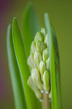 Hyacinth by Silke Magino