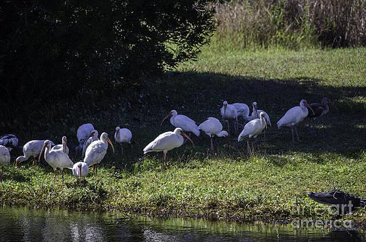 Dale Powell - IBIS Birds