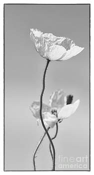 Iceland Poppy by Cindi Ressler