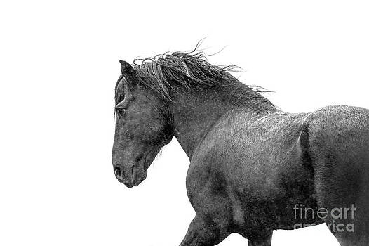 Icelandic Black Stallion by Heather Swan