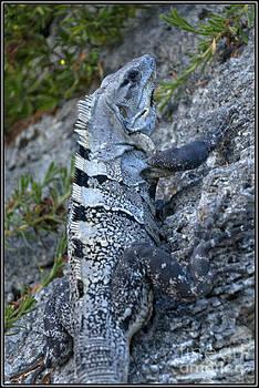 Iguana by Agus Aldalur