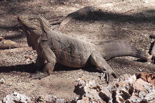 Iguana by Juan Carlos Sepulveda