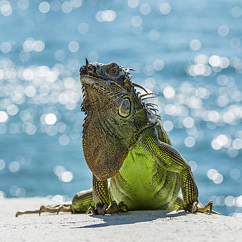 Thomas Schreiter - Iguana