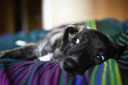 Portrait of Spanish Greyhound puppy by Nano Calvo