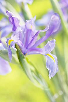 Jo Ann Snover - Iris