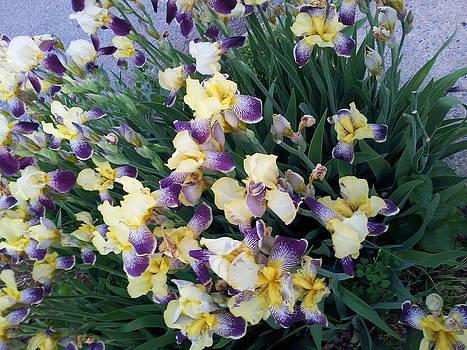 Irises by Theresa Crawford