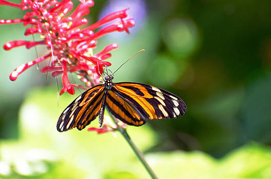 Ismenius Tiger Butterfly by Cheryl Cencich