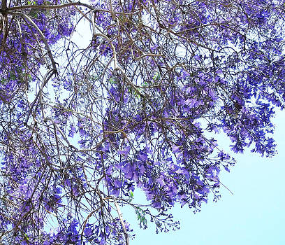 Jacaranda by Sally Stevens