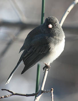 Kathy J Snow - Junco