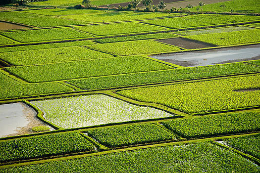 Roger Mullenhour - Kauai Taro Fields