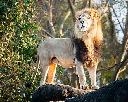 King of the Jungle by Robert Hainer