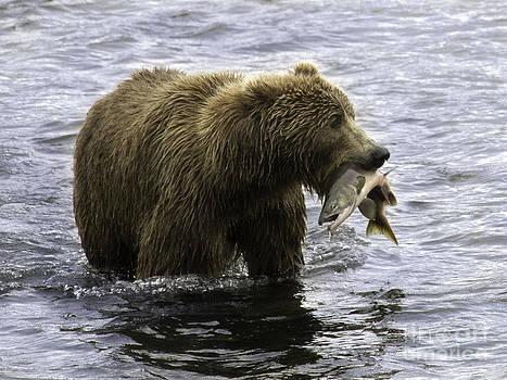 Tim Moore - Kodiak Brown Bear