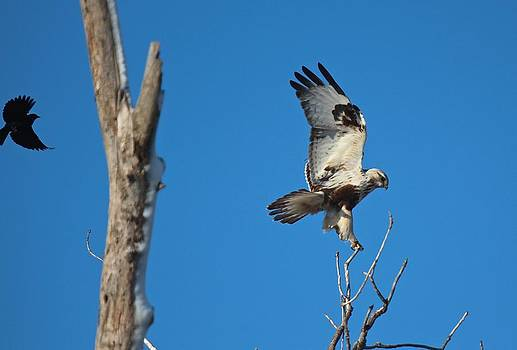 Kriders Red-Tailed Hawk by John Dart