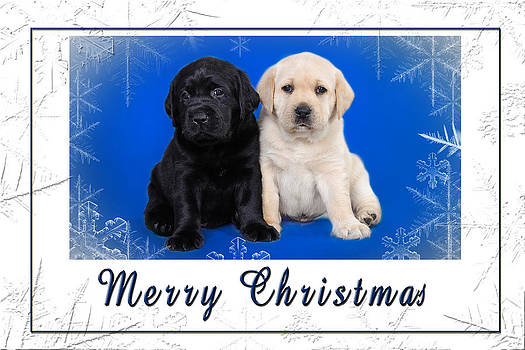Waldek Dabrowski - Labrador retriever puppies Christmas card