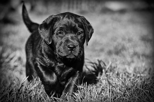 Waldek Dabrowski - Labrador retriever puppy in garden
