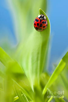 Lady Bug by Sharon Dominick