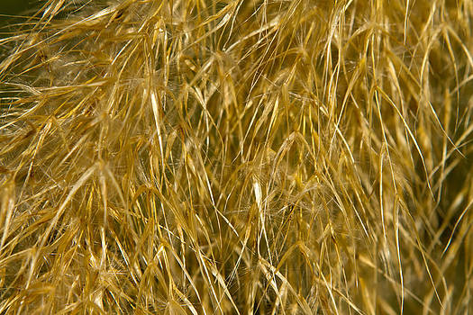 Fizzy Image - large pampass grass plant