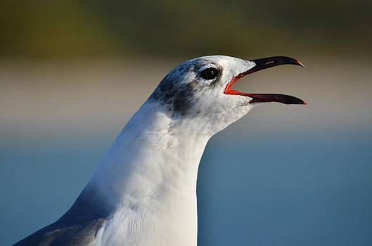 Laughing gull by Amber Bobbitt