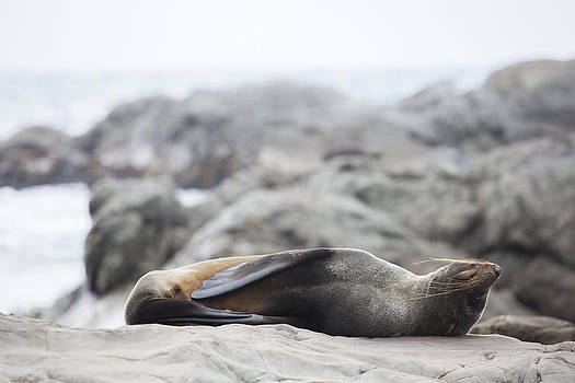Lazy Seal by Andrei Morar