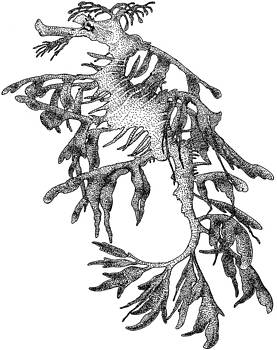 Leafy Sea Dragon by Roger Hall