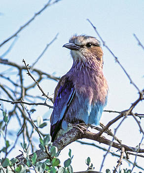 Lilac-breasted Roller by Tina Manley