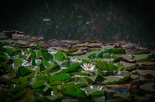 Lillypads by Leesa Toliver