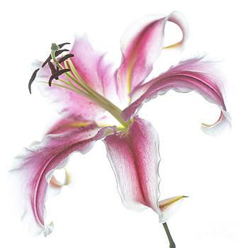 Elena Nosyreva - Pink Lily
