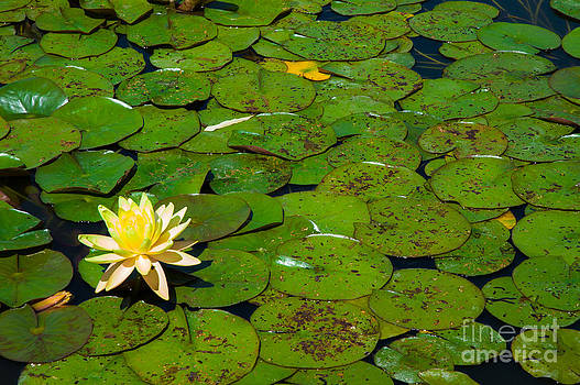 Peter Noyce - Lily flower on lily leaves in lily pond