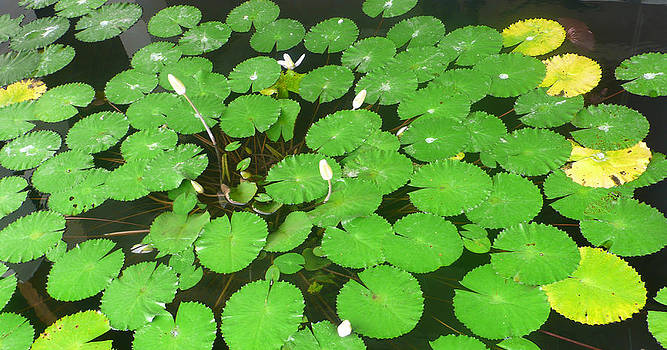 Lily Pad by Jack Edson Adams