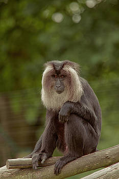 Stephen Barrie - Lion-Tailed Macaque