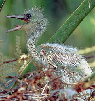 Little Blue Heron Chick by Millard H. Sharp