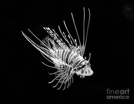 Jamie Pham - Little Lionfish