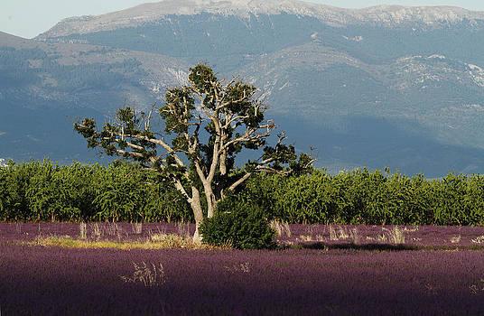 Alex Sukonkin - Lonely tree in a lavender field