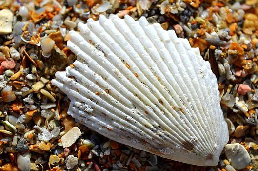 Macro Shell On Sand by Riad Belhimer