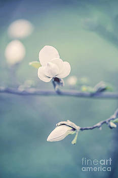 Magnolia by Izabela Kaminska